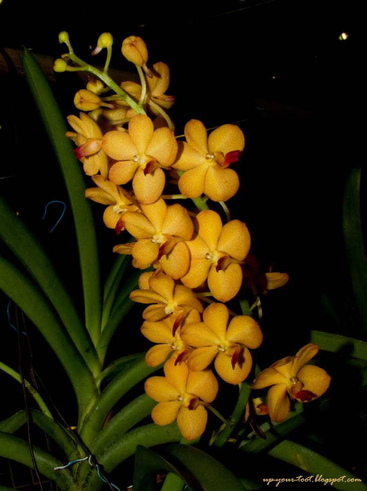 Vascostylis Pearl Cooper, Rhynchostylis coelestis x Ascocenda Pralor